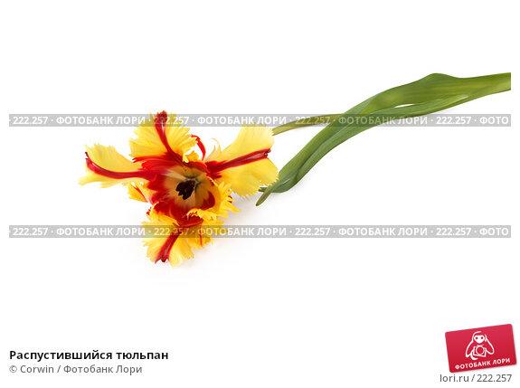 Купить «Распустившийся тюльпан», фото № 222257, снято 10 марта 2008 г. (c) Corwin / Фотобанк Лори