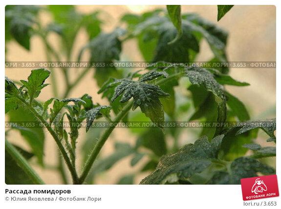Рассада помидоров, фото № 3653, снято 27 апреля 2006 г. (c) Юлия Яковлева / Фотобанк Лори