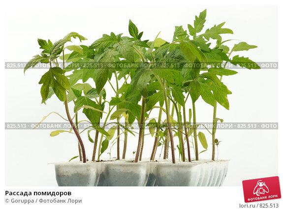 Купить «Рассада помидоров», фото № 825513, снято 28 февраля 2020 г. (c) Goruppa / Фотобанк Лори