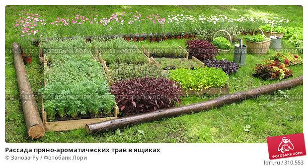 Рассада пряно-ароматических трав в ящиках, фото № 310553, снято 1 июня 2008 г. (c) Заноза-Ру / Фотобанк Лори