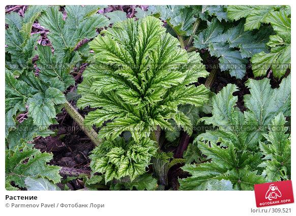 Растение, фото № 309521, снято 10 мая 2008 г. (c) Parmenov Pavel / Фотобанк Лори