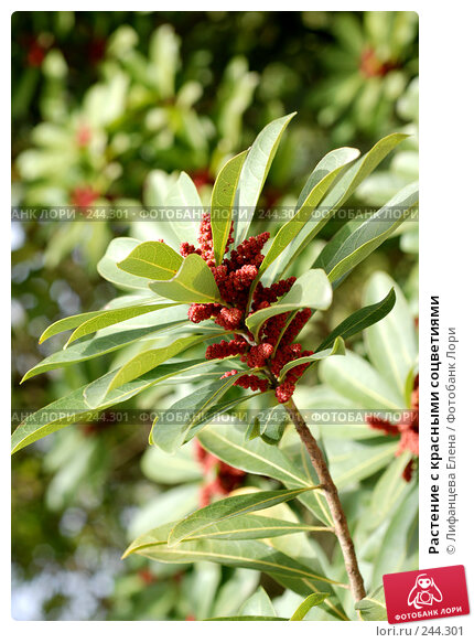 Растение с красными соцветиями, фото № 244301, снято 24 марта 2008 г. (c) Лифанцева Елена / Фотобанк Лори