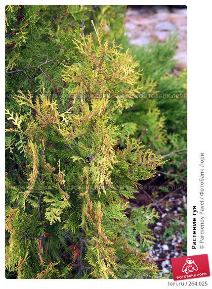 Растение туя, фото № 264025, снято 19 апреля 2008 г. (c) Parmenov Pavel / Фотобанк Лори