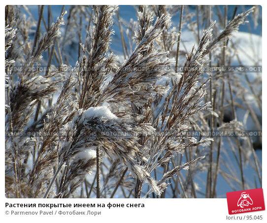 Растения покрытые инеем на фоне снега, фото № 95045, снято 12 февраля 2007 г. (c) Parmenov Pavel / Фотобанк Лори