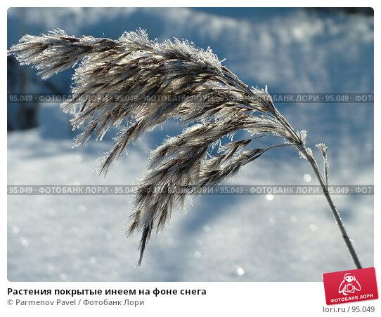 Растения покрытые инеем на фоне снега, фото № 95049, снято 12 февраля 2007 г. (c) Parmenov Pavel / Фотобанк Лори