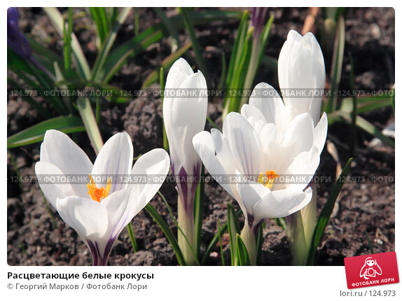 Расцветающие белые крокусы, фото № 124973, снято 29 апреля 2006 г. (c) Георгий Марков / Фотобанк Лори