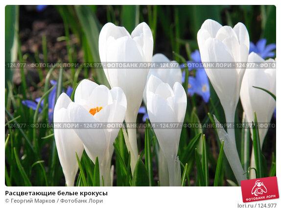 Расцветающие белые крокусы, фото № 124977, снято 1 мая 2006 г. (c) Георгий Марков / Фотобанк Лори
