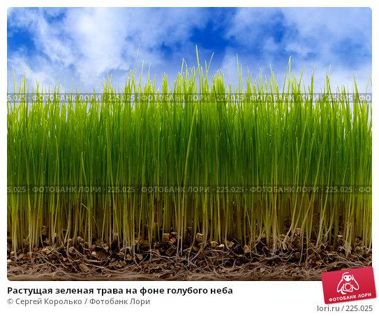 Растущая зеленая трава на фоне голубого неба, фото № 225025, снято 27 октября 2016 г. (c) Сергей Королько / Фотобанк Лори