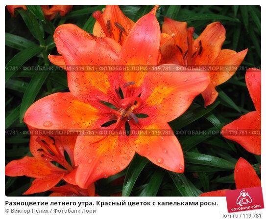 Разноцветие летнего утра. Красный цветок с капельками росы., фото № 119781, снято 16 июня 2007 г. (c) Виктор Пелих / Фотобанк Лори