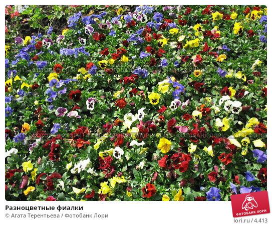 Разноцветные фиалки, фото № 4413, снято 21 мая 2006 г. (c) Агата Терентьева / Фотобанк Лори
