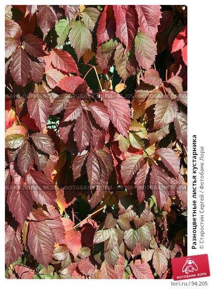 Разноцветные листья кустарника, фото № 94205, снято 30 сентября 2007 г. (c) Старостин Сергей / Фотобанк Лори