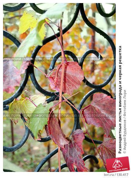 Разноцветные листья винограда и черная решетка, фото № 130417, снято 13 октября 2007 г. (c) Андрей Бурдюков / Фотобанк Лори