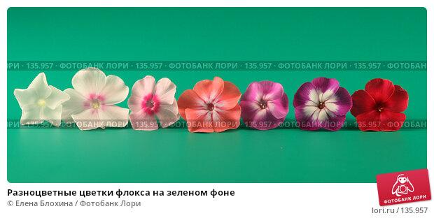 Разноцветные цветки флокса на зеленом фоне, фото № 135957, снято 26 июля 2007 г. (c) Елена Блохина / Фотобанк Лори