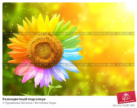 Купить «Разноцветный подсолнух», иллюстрация № 4261341 (c) Лукиянова Наталья / Фотобанк Лори