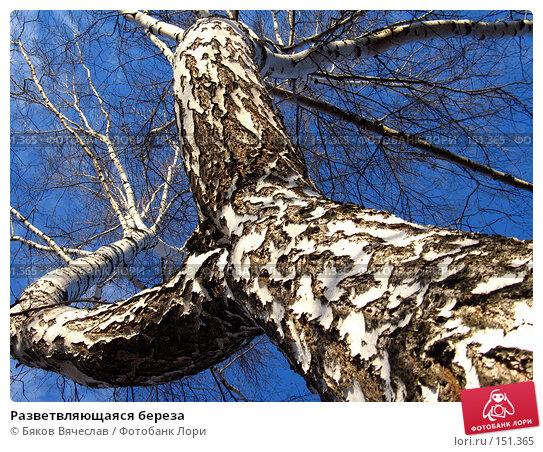 Разветвляющаяся береза, фото № 151365, снято 8 апреля 2007 г. (c) Бяков Вячеслав / Фотобанк Лори