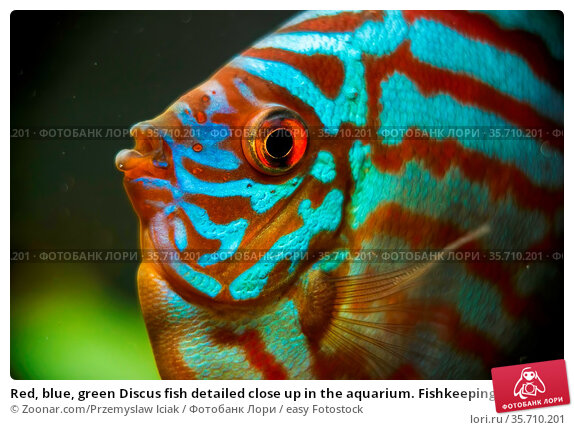 Red, blue, green Discus fish detailed close up in the aquarium. Fishkeeping... Стоковое фото, фотограф Zoonar.com/Przemyslaw Iciak / easy Fotostock / Фотобанк Лори