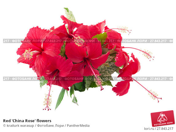 Купить «Red 'China Rose' flowers», фото № 27843217, снято 18 октября 2018 г. (c) PantherMedia / Фотобанк Лори