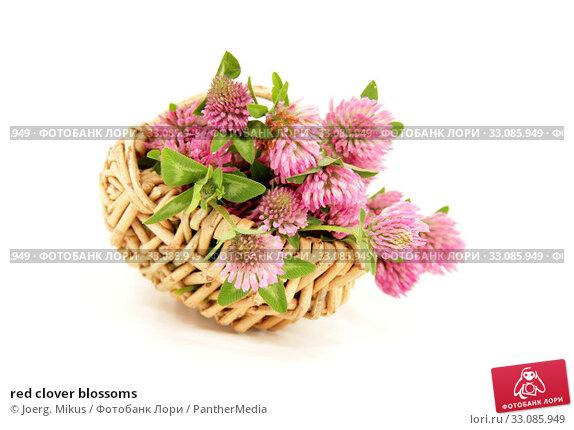 Купить «red clover blossoms», фото № 33085949, снято 20 февраля 2020 г. (c) PantherMedia / Фотобанк Лори