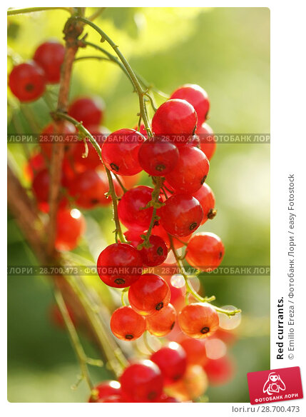 Купить «Red currants.», фото № 28700473, снято 15 июня 2018 г. (c) easy Fotostock / Фотобанк Лори