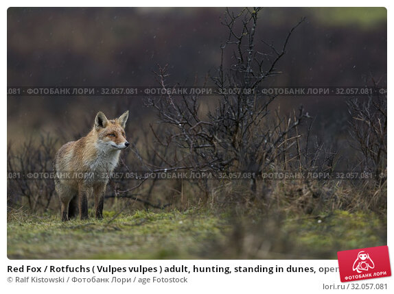 Red Fox / Rotfuchs ( Vulpes vulpes ) adult, hunting, standing in dunes, open habitat with bushes and scrub, bad weather, rainy day, wildlife, Europe. Стоковое фото, фотограф Ralf Kistowski / age Fotostock / Фотобанк Лори