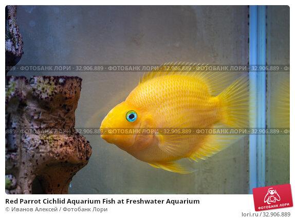 Red Parrot Cichlid Aquarium Fish at Freshwater Aquarium. Стоковое фото, фотограф Иванов Алексей / Фотобанк Лори