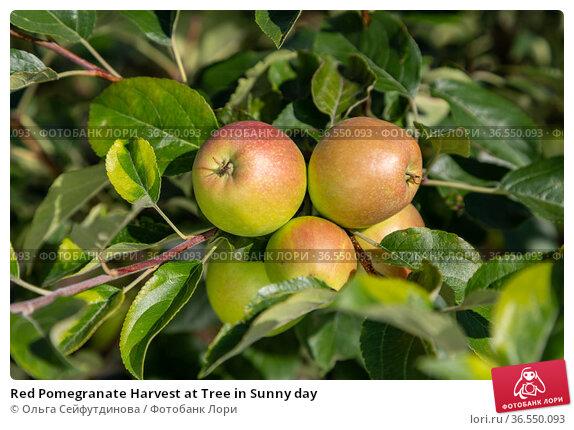 Red Pomegranate Harvest at Tree in Sunny day. Стоковое фото, фотограф Ольга Сейфутдинова / Фотобанк Лори