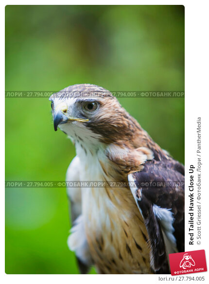 Купить «Red Tailed Hawk Close Up», фото № 27794005, снято 15 октября 2019 г. (c) PantherMedia / Фотобанк Лори