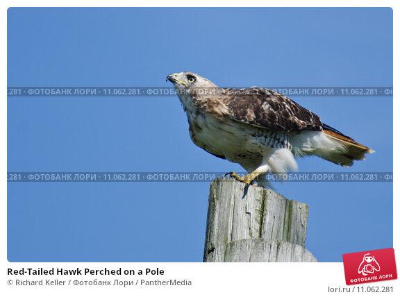 Купить «Red-Tailed Hawk Perched on a Pole», фото № 11062281, снято 17 октября 2019 г. (c) PantherMedia / Фотобанк Лори