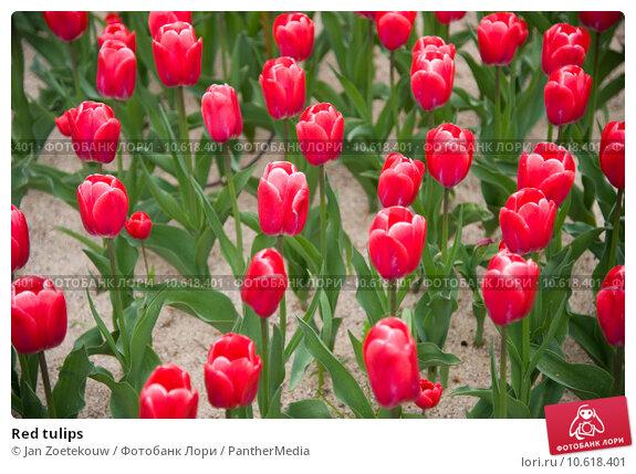 Red tulips. Стоковое фото, фотограф Jan Zoetekouw / PantherMedia / Фотобанк Лори