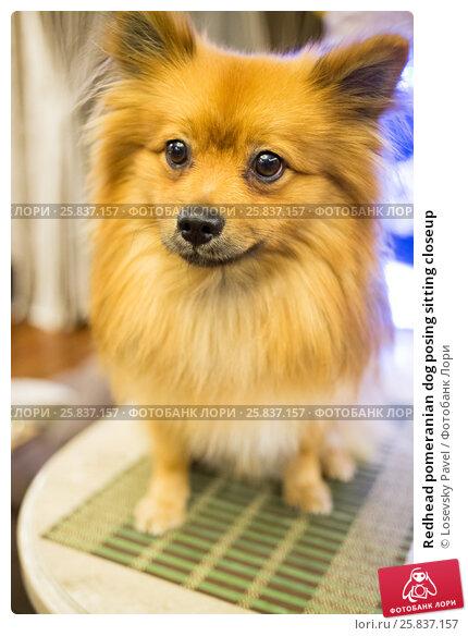 Купить «Redhead pomeranian dog posing sitting closeup», фото № 25837157, снято 17 июля 2019 г. (c) Losevsky Pavel / Фотобанк Лори