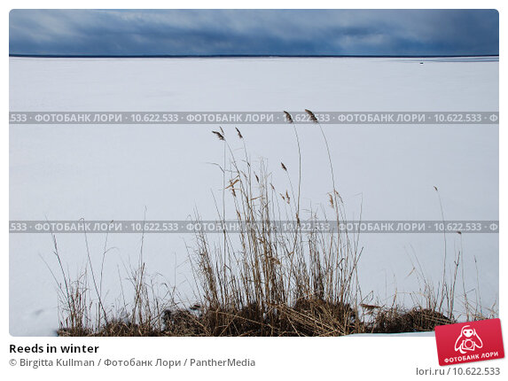 Reeds in winter. Стоковое фото, фотограф Birgitta Kullman / PantherMedia / Фотобанк Лори
