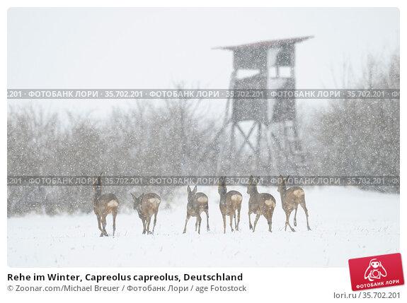 Rehe im Winter, Capreolus capreolus, Deutschland. Стоковое фото, фотограф Zoonar.com/Michael Breuer / age Fotostock / Фотобанк Лори