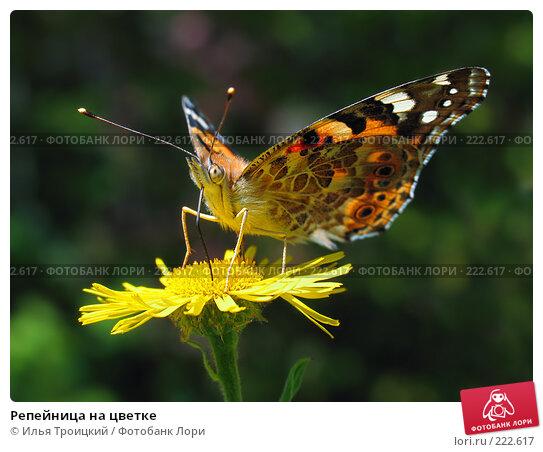 Репейница на цветке, фото № 222617, снято 23 сентября 2005 г. (c) Илья Троицкий / Фотобанк Лори