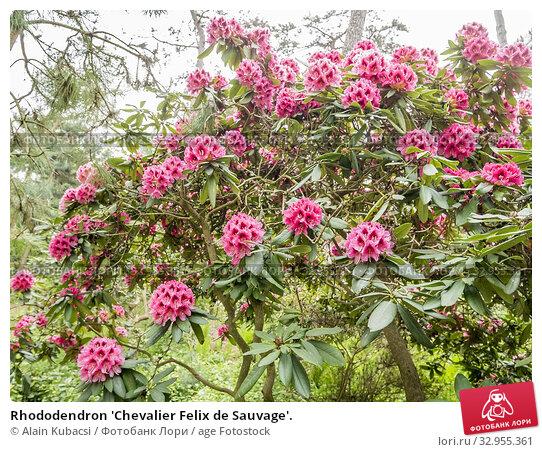 Rhododendron 'Chevalier Felix de Sauvage'. Стоковое фото, фотограф Alain Kubacsi / age Fotostock / Фотобанк Лори