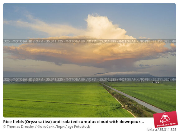 Rice fields (Oryza sativa) and isolated cumulus cloud with downpour... Стоковое фото, фотограф Thomas Dressler / age Fotostock / Фотобанк Лори