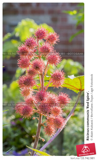 Ricinus communis 'Red Spire'. Стоковое фото, фотограф Alain Kubacsi / age Fotostock / Фотобанк Лори