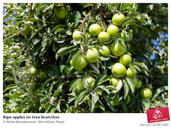Ripe apples on tree branches. Стоковое фото, фотограф Яков Филимонов / Фотобанк Лори