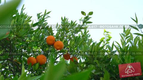 Купить «Ripe fresh tangerines on brunch in park on Cyprus», видеоролик № 26606617, снято 27 июня 2017 г. (c) Гурьянов Андрей / Фотобанк Лори