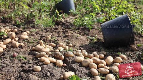 Ripe large potatoes dug in the field on a sunny day. Стоковое видео, видеограф Яков Филимонов / Фотобанк Лори