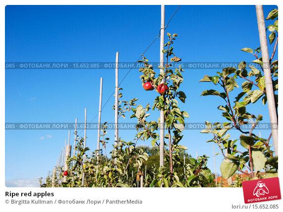 Купить «Ripe red apples», фото № 15652085, снято 16 октября 2019 г. (c) PantherMedia / Фотобанк Лори