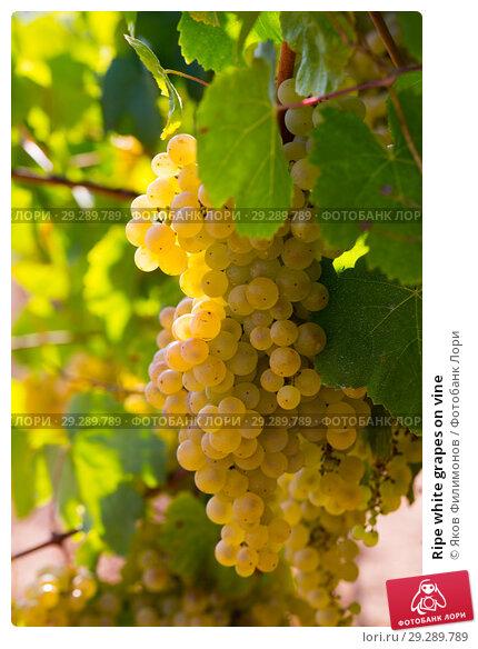 Купить «Ripe white grapes on vine», фото № 29289789, снято 23 февраля 2019 г. (c) Яков Филимонов / Фотобанк Лори