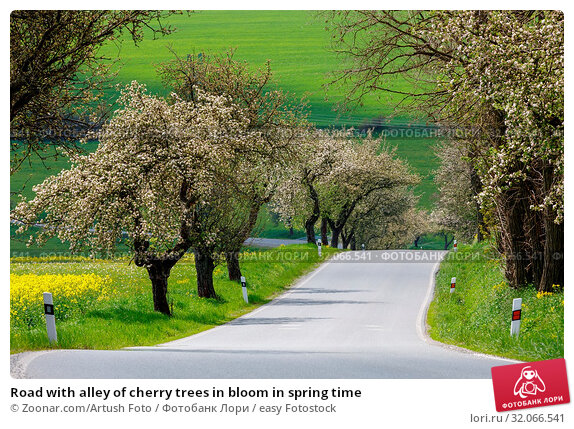 Road with alley of cherry trees in bloom in spring time. Стоковое фото, фотограф Zoonar.com/Artush Foto / easy Fotostock / Фотобанк Лори
