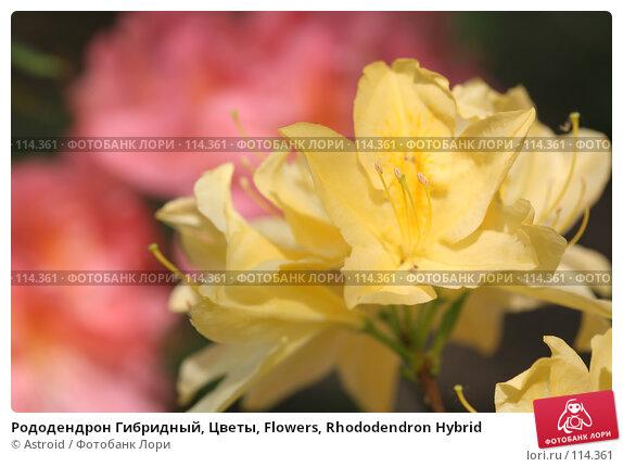Рододендрон Гибридный, Цветы, Flowers, Rhododendron Hybrid, фото № 114361, снято 29 мая 2007 г. (c) Astroid / Фотобанк Лори