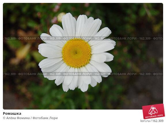 Ромашка, фото № 162309, снято 17 мая 2006 г. (c) Алёна Фомина / Фотобанк Лори