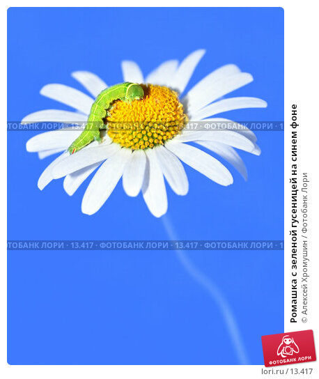 Ромашка с зеленой гусеницей на синем фоне, фото № 13417, снято 19 августа 2006 г. (c) Алексей Хромушин / Фотобанк Лори