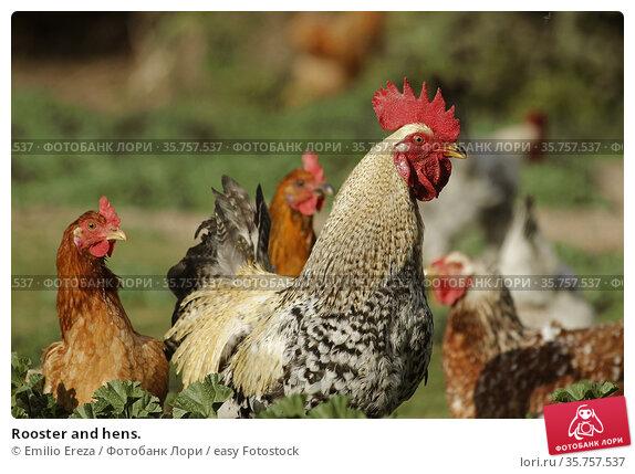 Rooster and hens. Стоковое фото, фотограф Emilio Ereza / easy Fotostock / Фотобанк Лори