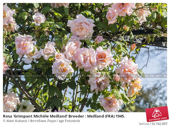 Rosa 'Grimpant Michèle Meilland' Breeder : Meilland (FRA) 1945. Стоковое фото, фотограф Alain Kubacsi / age Fotostock / Фотобанк Лори