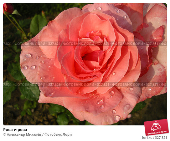 Купить «Роса и роза», фото № 327821, снято 17 июля 2005 г. (c) Александр Михалёв / Фотобанк Лори