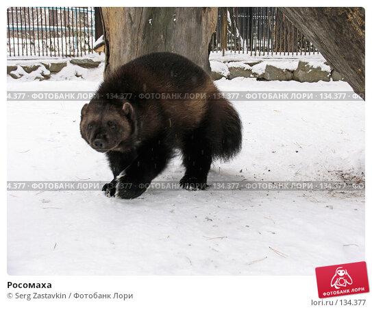 Росомаха, фото № 134377, снято 7 ноября 2004 г. (c) Serg Zastavkin / Фотобанк Лори
