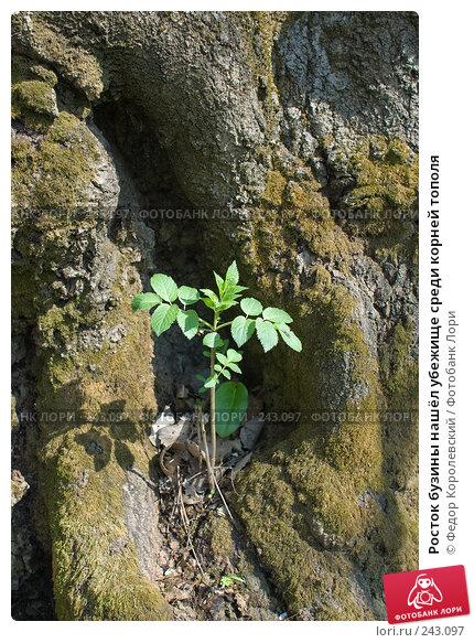 Купить «Росток бузины нашёл убежище среди корней тополя», фото № 243097, снято 4 апреля 2008 г. (c) Федор Королевский / Фотобанк Лори